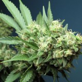 Is there a duty to take cannabis?